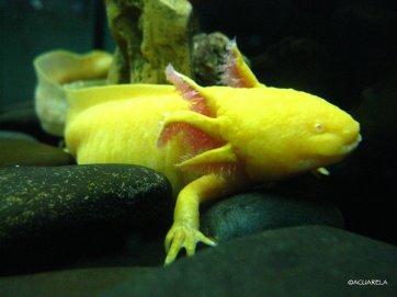 Axolotl, Ambystoma mexicanum