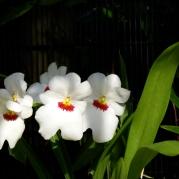 Orquídeasflores10