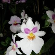 Orquídeasflores211