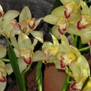 Orquídeasflores27