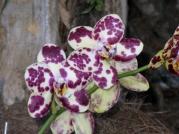 Orquídeasflores36