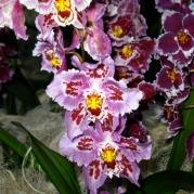 Orquídeasflores61