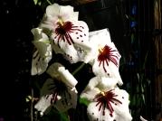 Orquídeasflores7