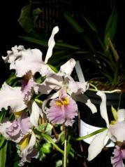 Orquídeasflores9