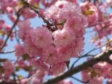 Las flores de cerezo, un regalo deprimavera