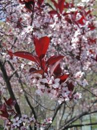 Cerezo rojo