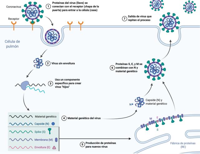 Coronavirus entrada